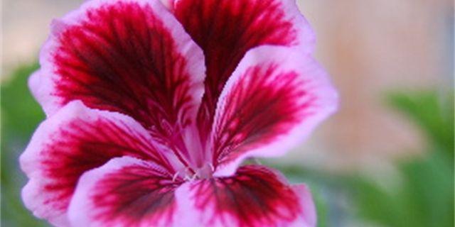Muškáty (pelargonie) a jejich zazimování řeší snad každý pěstitel balkonových rostlin. Vypravili jsme se proto pro praktické rady za zkušenou pěstitelkou, paní Valinovou do Budyně nad Ohří.