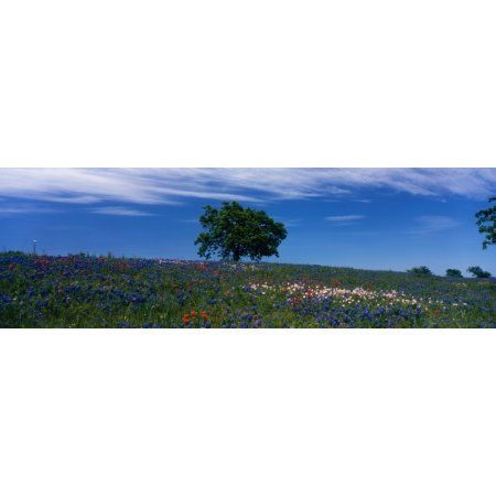 USA Texas hill country Canvas Art - Panoramic Images (36 x 12)