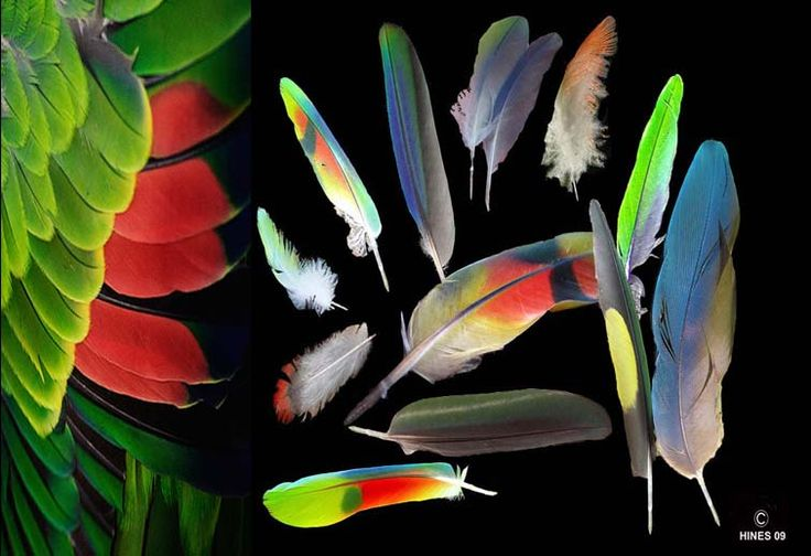 All About Your Parrot's Feathers - The Causes Of Molt, Feather Problems And What You Can Do About Them
