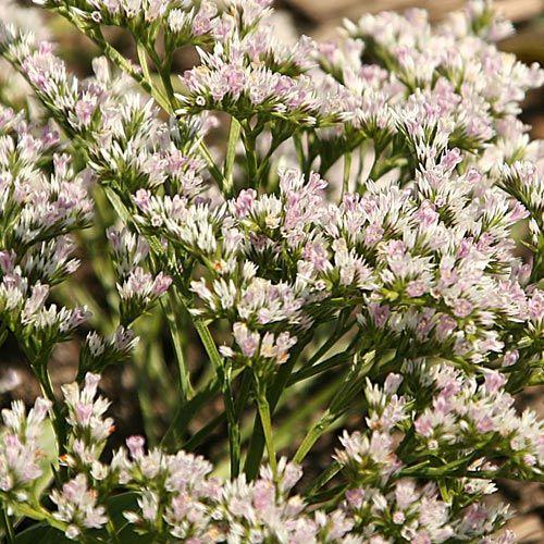 Goniolimon tataricum, Sol, 45 cm Vackert ljunglik med täta, silvervita blomsamlingar för rabatt eller stenparti. Fin även i färska eller torkade buketter och arrangemang.  Odling: Förkultiveras inomhus i feb-mar eller sås utomhus i krukor eller på friland maj-sep. Fröerna täcks med ett tunt lager perlit.