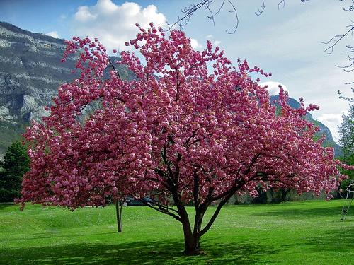 japanese flowering cherry 2 by al brando via flickr