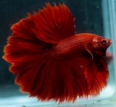 17 best images about bettas on pinterest copper auction for Ebay betta fish