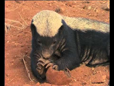 Honey badger vs lion testicles - photo#39