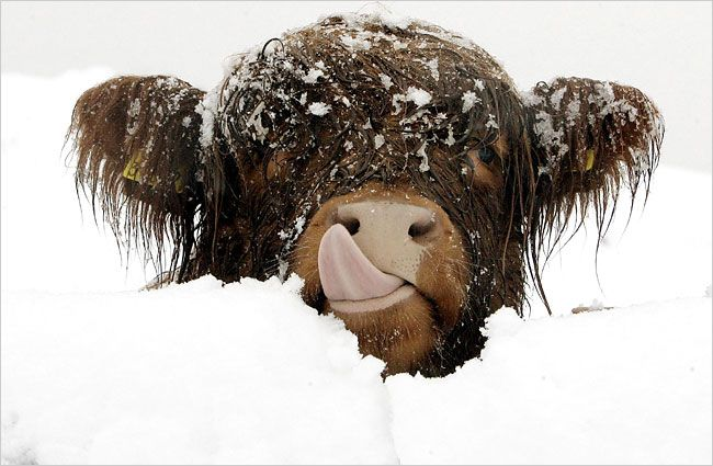 Baby Highland Cow in the Snow