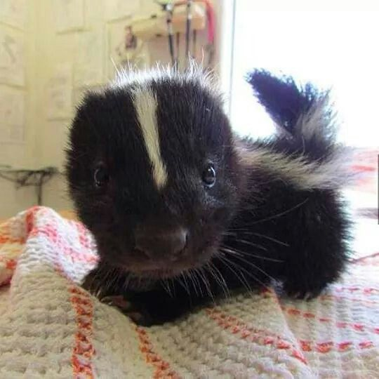 Baby Skunk!! I hope he has had his stink glands removed!!!!