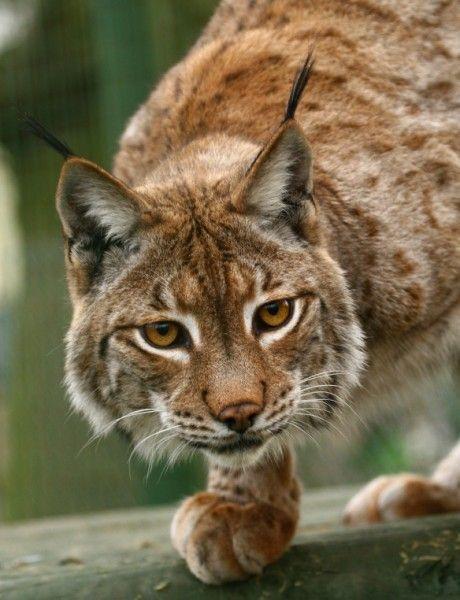 Altijd al meer willen weten over de lynx? Dan ben je bij ons aan het juiste adres! http://www.stichtingspots.nl/index.php?page=185