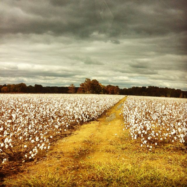 In the midst of cotton.