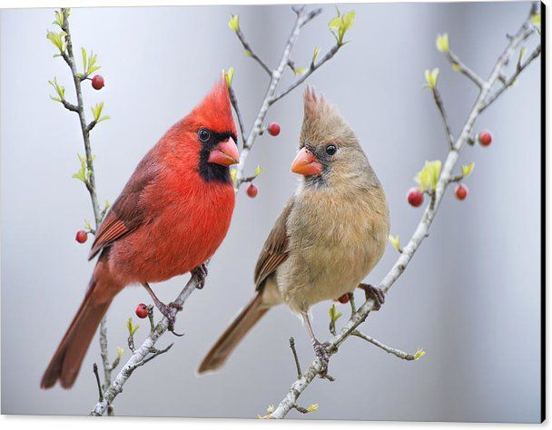 Cardinals In Spring Canvas Print featuring the photograph Cardinals In Early Spring by Bonnie Barry