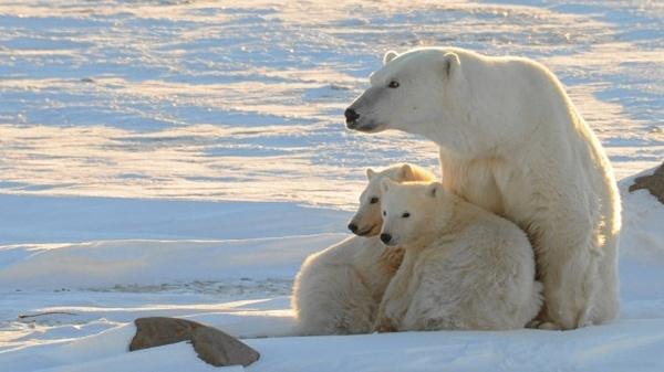 Endangered Species: Civilization, Not Polar Bears