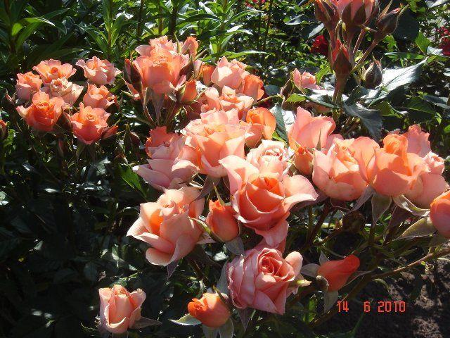 черенкование спрей розы