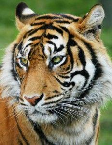 The final days of the Sumatran tiger? - CNN