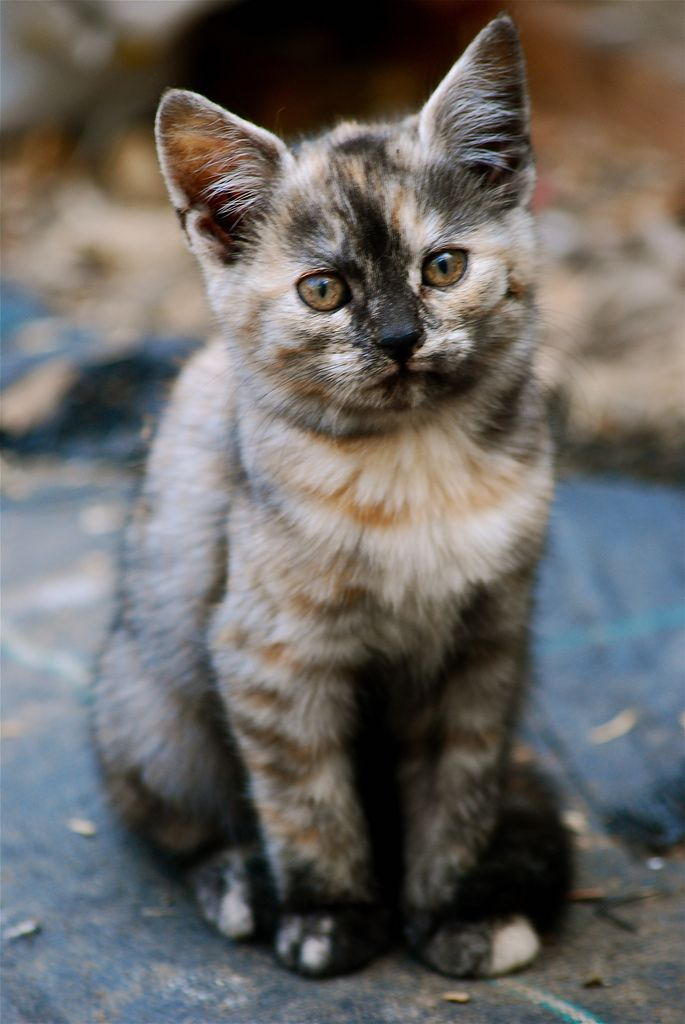 (Lou Morgan) diluted tortie cat