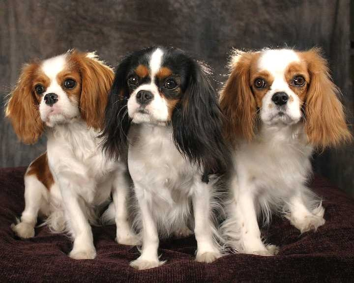 Dog breed:  King Charles Spaniel