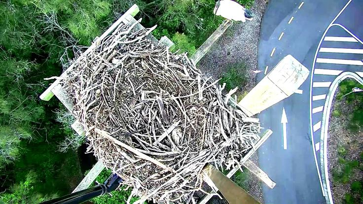 2016 01 08 ibis visits the osprey nest