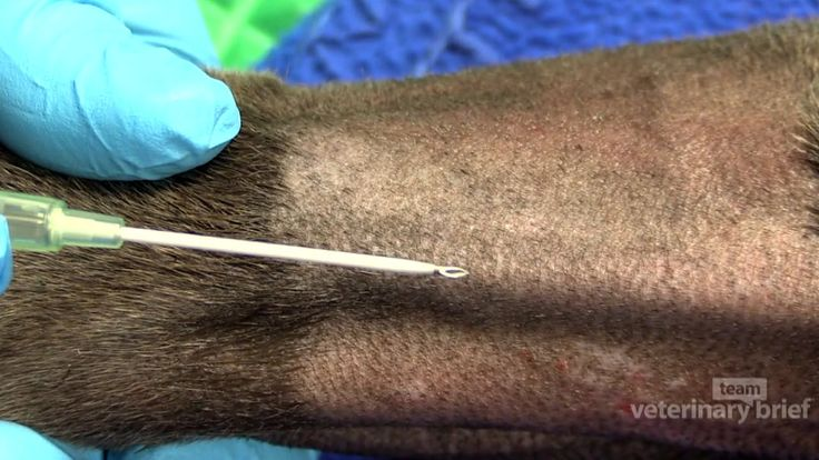 Skills for Veterinary Technicians: IV Catheter Placement