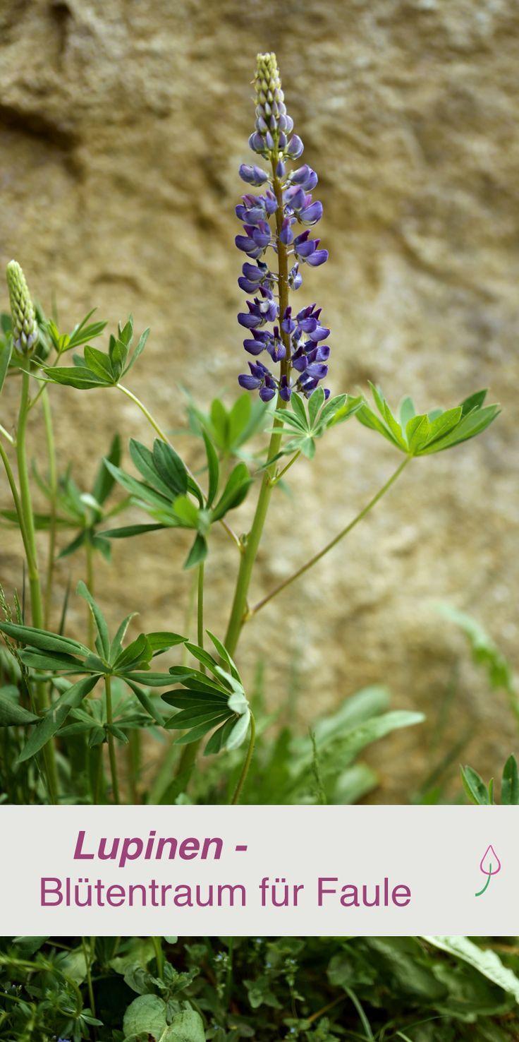 Lupinen Aussaat Pflege Schnitt Pflanzen Pflegeleichter Garten Gartenpflanzen