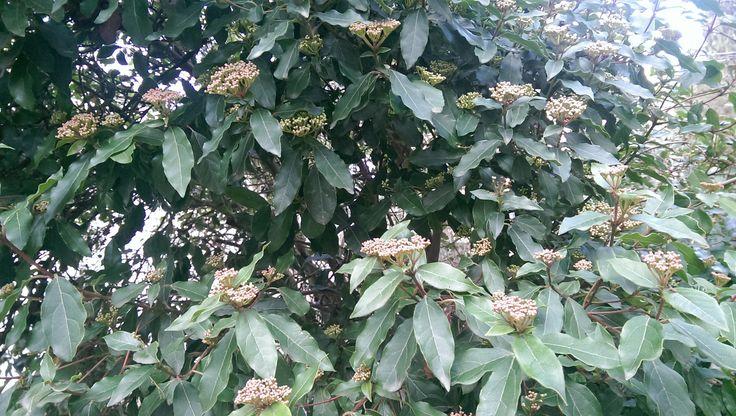Калина вечнозелёная. Начало цветения (начало февраля), Ялта