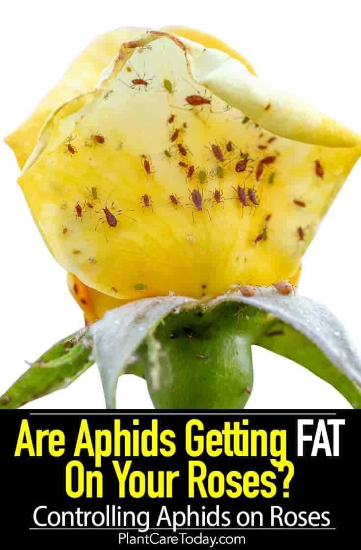 How To Get Rid Of Aphids On Rose Bushes