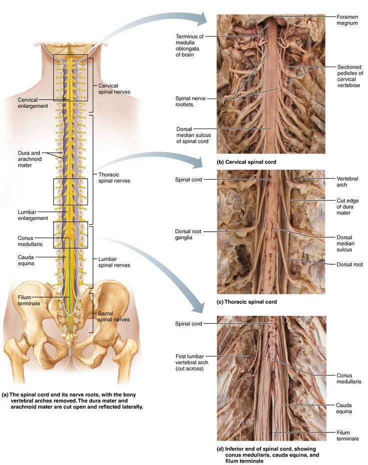 Dorable Conus Medullaris Anatomy Colección de Imágenes - Imágenes de ...