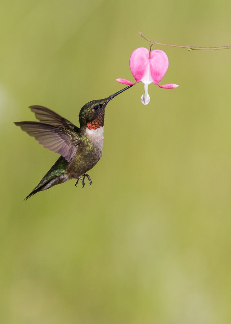 Ruby-throated Hummingbird getting nectar from a bleeding heart flower | by Daniel Gelinas on 500px