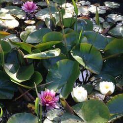 Photo Of Educated Gardener Santa Margarita Ca United States Beautiful Waterlilies Spring