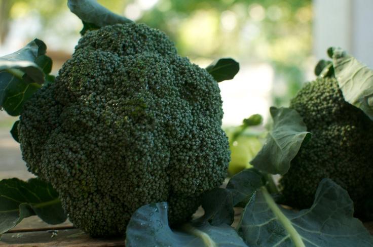 Organic Broccoli Seeds De Cicco