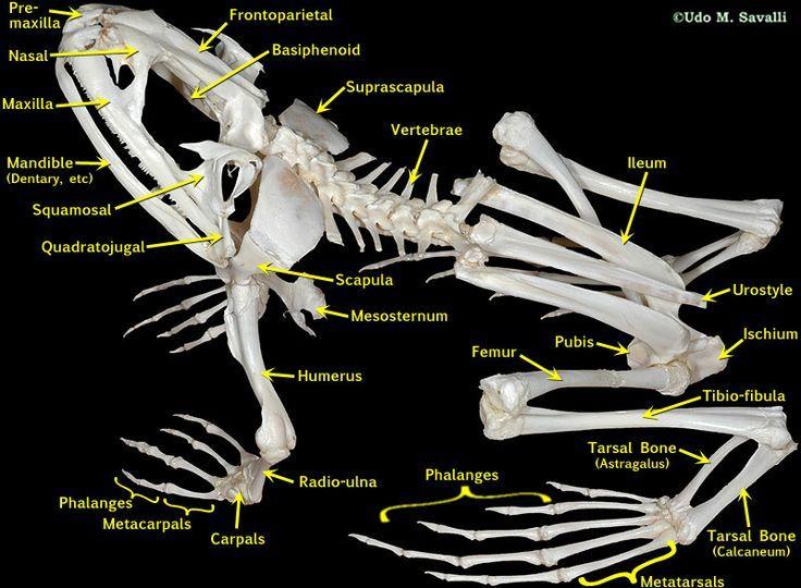 fefea3221fda6501d3ba1d13f8dc373c--skeleton-labeled-animal-skeletons.jpg (736×540)