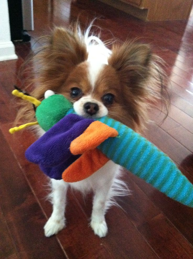 What an adorable papillon. My pap runs around with a toy in her mouth all the time too!!