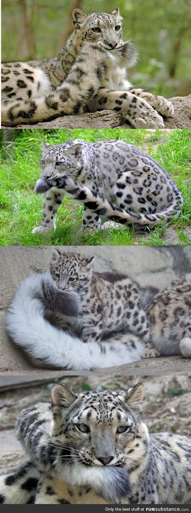 This. This is why Snow Leopards are the best big cats~
