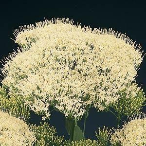 Lake Michigan White Trachelium