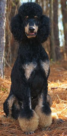 Walker - Phantom colored Standard Poodle
