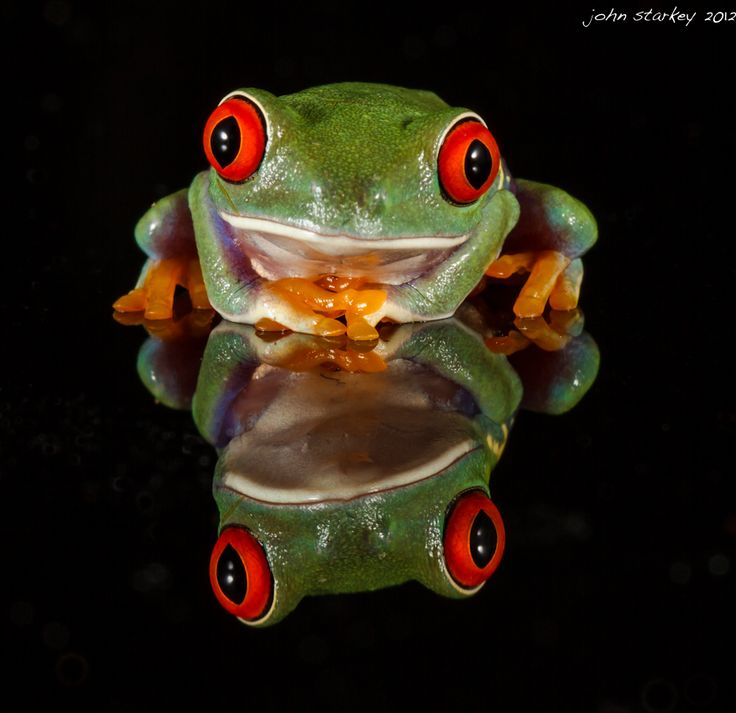 Chilling Out (Red eyed tree frog) by John Starkey, via 500px
