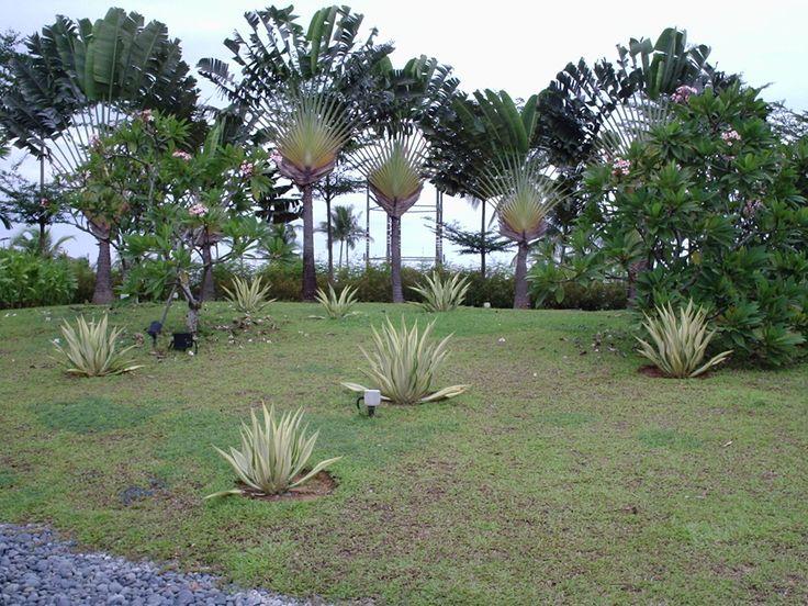 Ravenala madagascariensis (Traveler's Palm / Árbol del Viajero) in Singapore