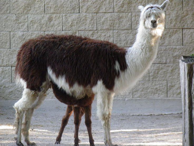Il cucciolo di Alpaca appena nato con la madre che lo allatta.