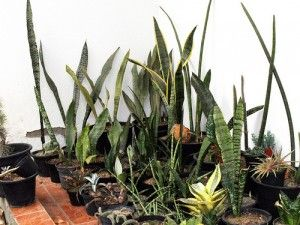 Caring for Sansevieria Plant
