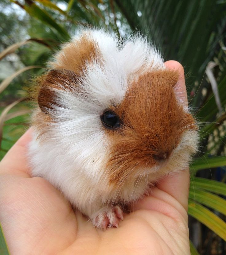 Guinea pig baby Just look at that adorable face!