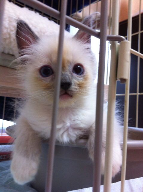 Breed/Ragdoll Blue Point Mitted ♂ birthday/ 2014-08-06 Name/ LEO