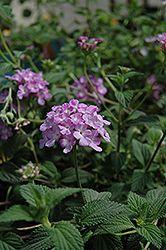 Click to view large photo of Lavender Swirl Lantana (Lantana montevidensis 'Monswee') at Bachman's Landscaping