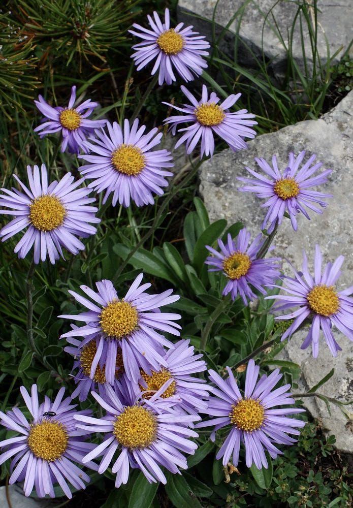 Alpine Aster 25 Beautiful Rare Flowers Beautiful World