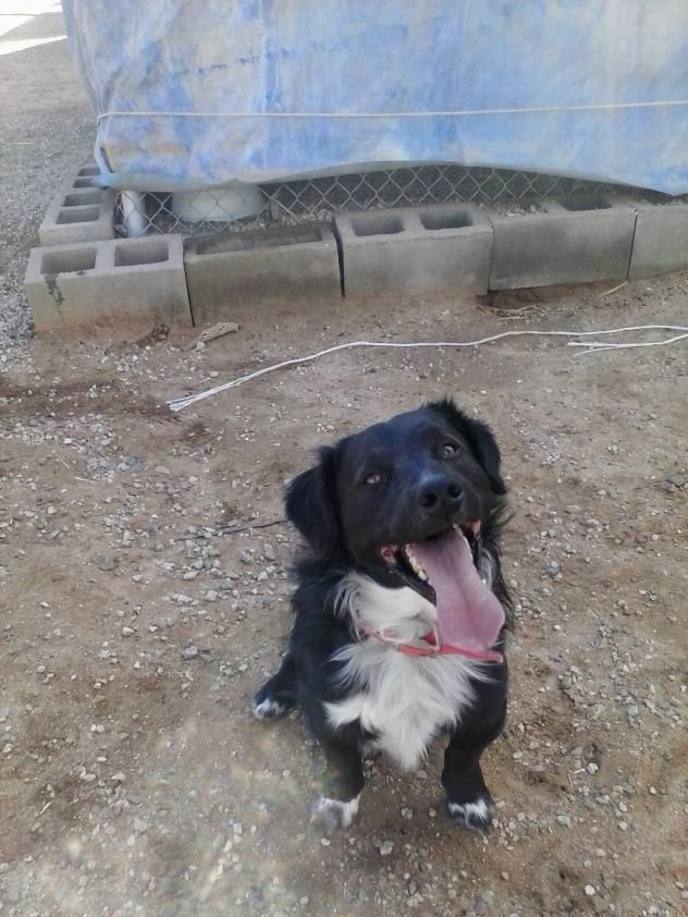 High Desert Angels for Animals Palmdale, CA. DUKE! <3 • Australian Shepherd & English Springer Spaniel X • Young • Male • Lg. Neutered • Current on vaccinations • Primary Color(s): Black • Secondary Color(s): White or Cream