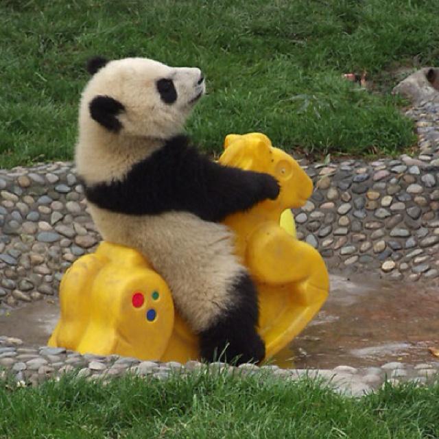 Pandas Baby, Baby Pandas, Rocks Horses, So Cute, Funny, Pandas Bears, Baby Animals, Panda Babies, Panda Bears