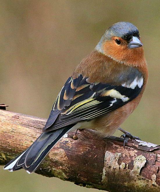 Chaffinch (Fringilla coelebs) - a common Eurasian finch, Pinson des arbres, Eurasie