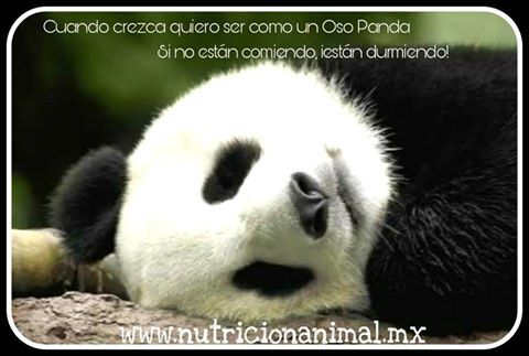 El Oso Panda basa el 99% de su dieta en el bambú, el 1% puede ser alimento concentrado para animales herbívoros alto en fibra. Así se pueden aportar vitaminas y minerales que el bambú no contiene.