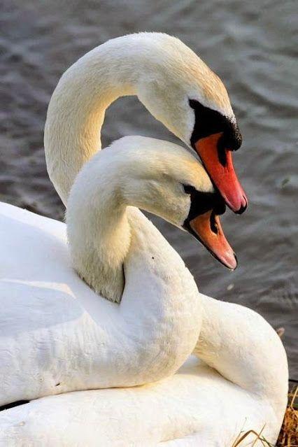 birds - swans w necks entwined lovely.jpg (JPEG Image, 426 × 639 pixels)