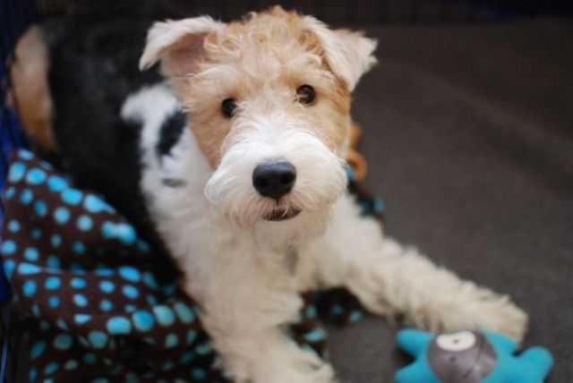 Pictures of Wire Fox Terrier Dog Breed