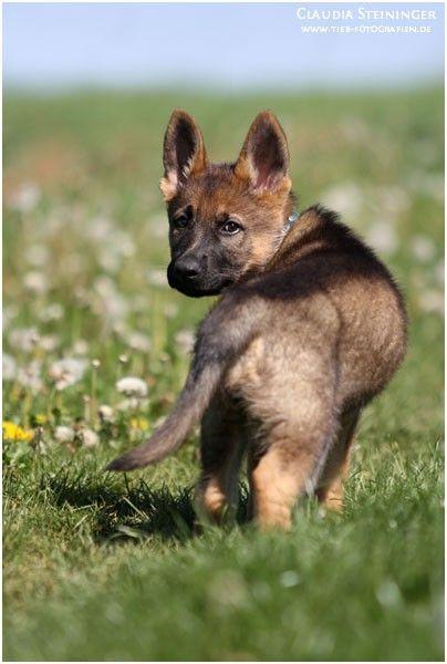 Der Deutsche Schäferhund: Was ihn so besonders macht