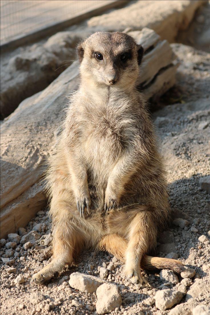 An adorable meerkat chilling in the sunshine at DAKTARI