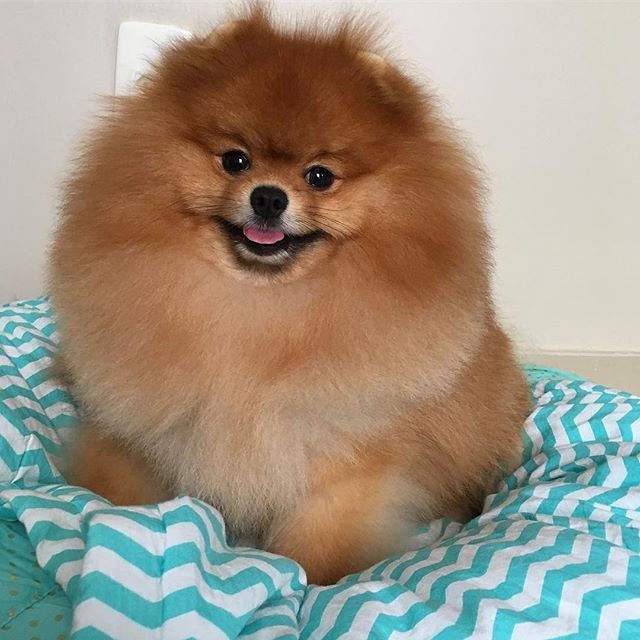 Na minha caminha querida... ❤.  I love my little bed... ❤ STUART. . #pom #pomeranian #luludapomerania #spitzalemao #lovemyspitz #petstagram #pet #instapuppy #animallovers #pomeraniandogs #pomeranianbrothers  #pomeranianpage #zeedog #petlovers #dogskickass #connectingdogsandpeople  #brpets #achadosdasemana  #dogsofinstagram #pomeranianlovers #dogoftheday #lovemypet #supercute #instapet #poshpamperedpets #CaesCats #pomeranianworld #justpomeranians #instadog