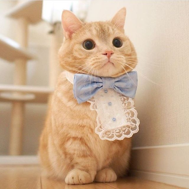 "land-like-a-cat: ""Formal kitty {Courtesy of @pooh0403} #meowbox #pretty #prettylittleliars """