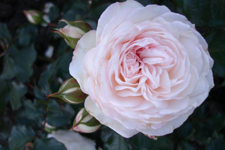 'Like dreamers do'™ Floribunda ros. 40-60 cm hög. Stora fyllda blommor och vackra mörkgröna blad. Blommar från sommar till sen höst.